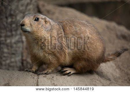Black-tailed prairie dog (Cynomys ludovicianus). Wildlife animal.