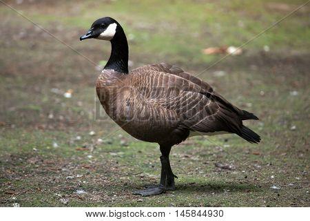 Canada goose (Branta canadensis). Wildlife bird.