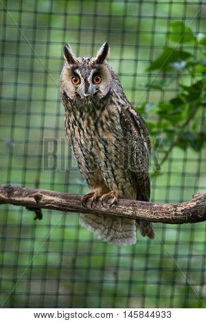 Long-eared owl (Asio otus). Wildlife bird.