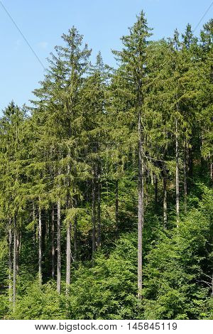 european spruce trees or picea abies. Harz mountains in Germany