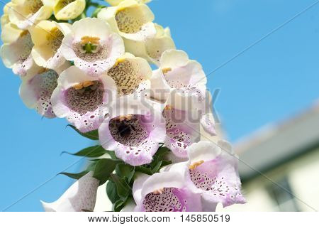 Foxglove Flowers With Close Up Of Purple Petals