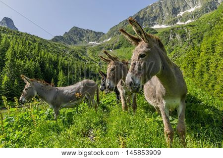 Funny curious donkeys in with mountains in background