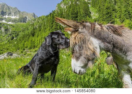Dog kissing his donkey friend close up. Love story. Multicultural friendship stories.