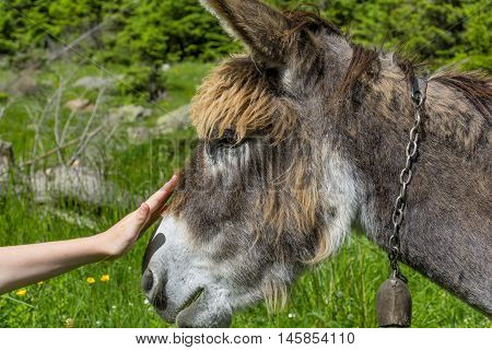 Girl hand caressing a beautiful donkey close up