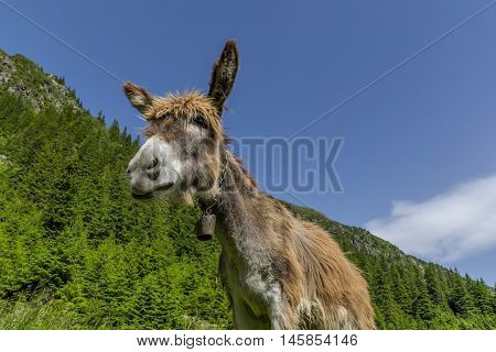Funny brown donkey portrait with a bell around the neck