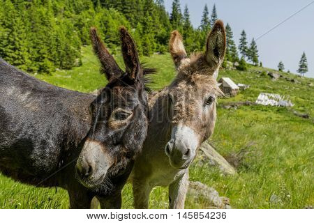 Black and White. Two donkeys best friends. Beautiful couple of donkeys in Carpathians mountains.