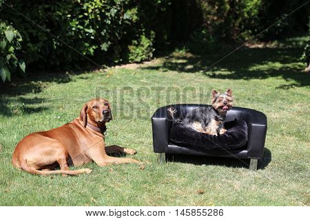 Rhodesian Ridgeback with Yorkshire Terrier on the Coach