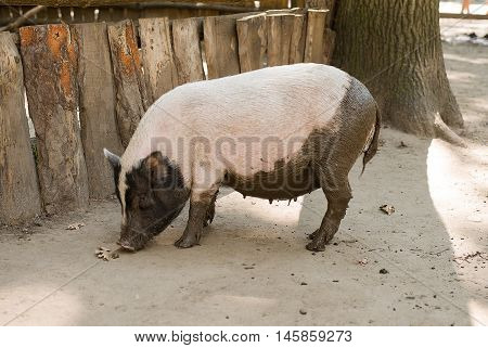 Pig stands near the fence at the farm