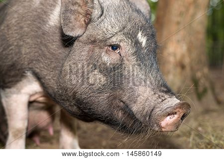The snout of a boar on the farm big