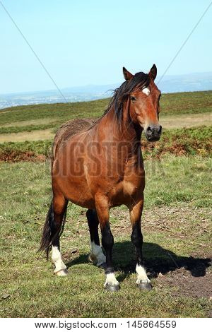Semi wild brown Welsh horse cob pony on the Brecon Beacons National park, Wales, UK