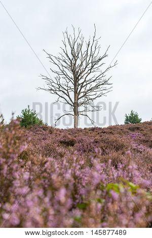 Blooming heather fields in the Netherlands with dead tree lying in the landscape Veluwe National Park Netherlands.