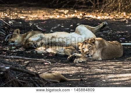 Asiatic Lion family resting and one of the cub watching