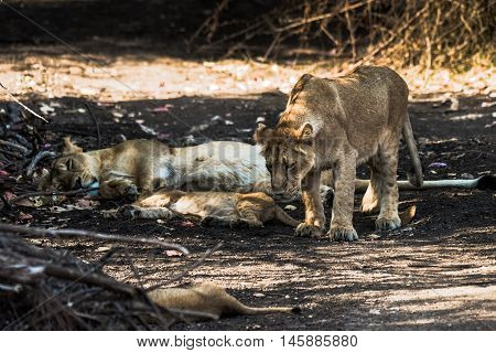 Asiatic Lion family sleeping and one of the sub-adult cub going to sit