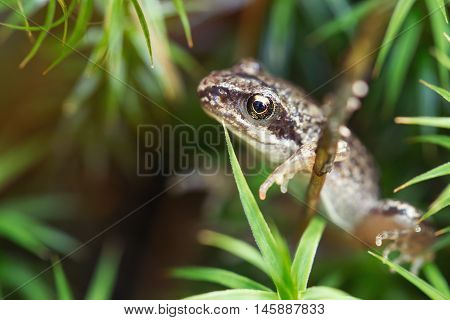 Small Forest Frog In Grass