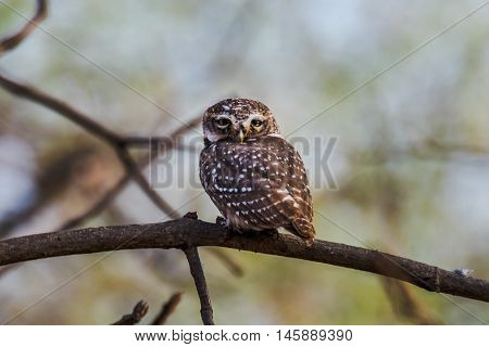 Spotted owlet perched and watching. isolated in green background