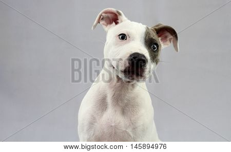 Staffordshire Bull Terrier Puppy looking at camera