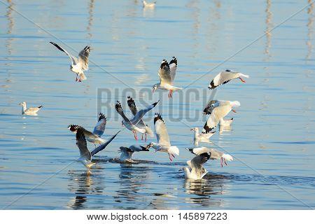 Seagulls are snatching food on the surface of the sea at Bangpu recreation center, Samutprakan, Thailand.