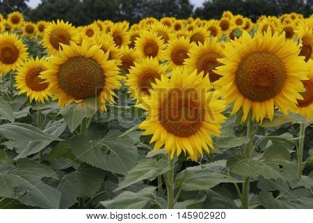 Bright yellow field of sunflowers facing the camera.