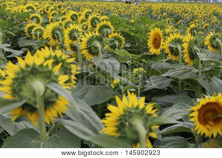 Field of sunflowers facing the sun, away from camera showing backs of multiple flowers.