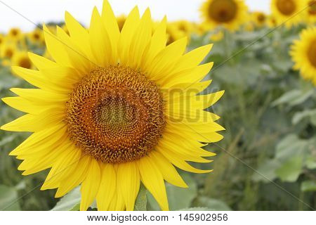 One lone yellow sunflower in a field of hundreds