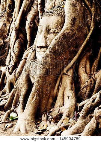 Buddha figure overgrown by fig roots in Wat Mahatat in Ayutthaya historic park Thailand. Only the head has remained. This ancient temple was built during the 14th century.