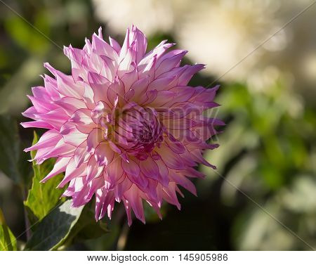 Sunset in dahlia garden. Closeup of pink semi cactus dahlia.
