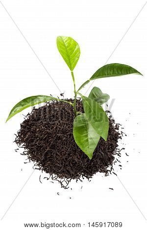 Green tree in a handful of tea isolated on white background.