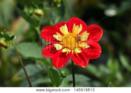 Beautiful red dahlia flower with green leaves.