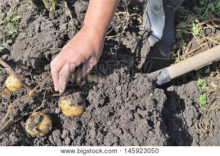 female hand pulls potatoes dug from the ground