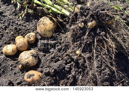 dug potatoes bush lying on the ground