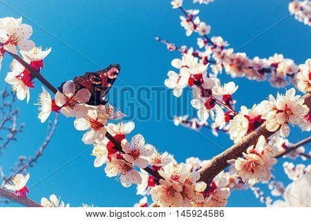 Beatiful butterfly flew on a blossoming cherry branch