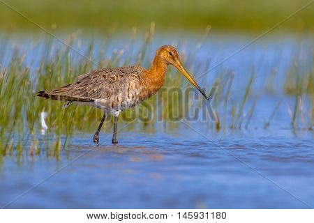 Black Tailed Godwit On A Sunny Afternoon
