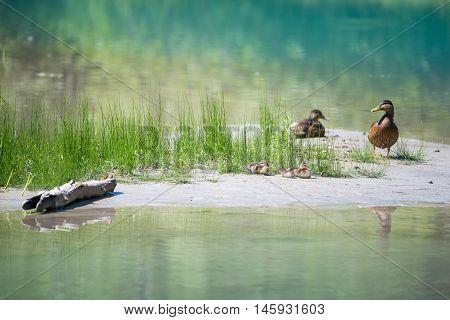 Duck family with babies at river with grass water and wood