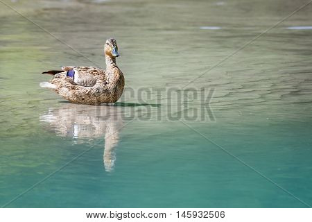 majestic female duck with reflection on clear river water
