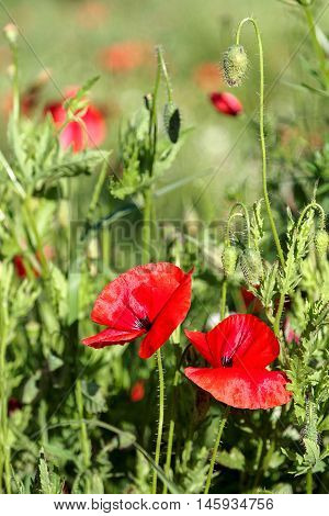 Flowers red poppies in a green field.