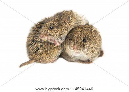 Two Common Vole