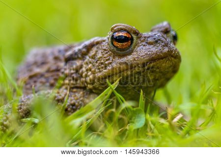 Portrait Of A Common Toad
