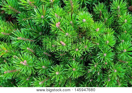 Mountain Pine - natural closeup view. Bright green Dwarf Mountain Pine. Dwarf conifer pine tree - closeup view.