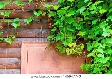 Nature background of grape leaves framing the wooden brown door. Bright green grape leaves in the garden. Fresh leaves of grape above the wooden door- closeup view.