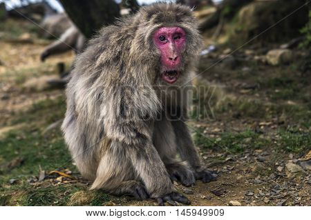 Macaca fuscata with one eye in Kyoto, Japan