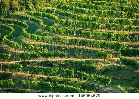 Vineyard Fields in Summer. German Vineyard Plantations.