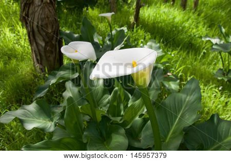 Calla lily wildflowers with lush green leaves in natural bushland reserve with tall grasses and paperbark tree in Bibra Lake, Western Australia.