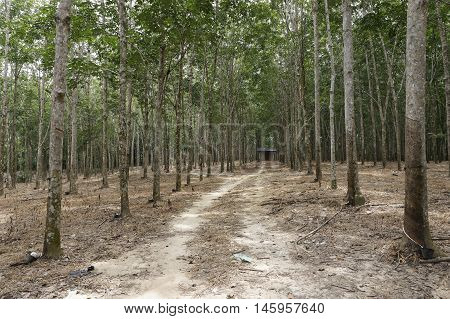 Small house in the rubber plantation at Jelebu, Malaysia