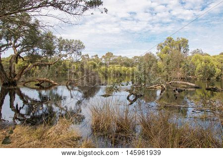 Lush treed wetland reserve with a flock of wild Australian Shelducks under a blue sky with clouds in Bibra Lake, Western Australia.