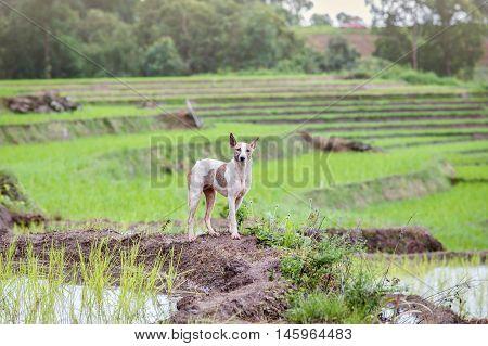 Dog at UNESCO Rice Terraces in Batad Philippines
