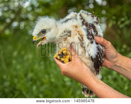 Buzzard Chick In Hand