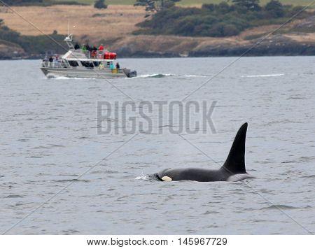Orca Whale Watching off the Washington Coast