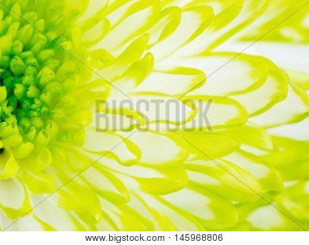 Extreme close up macro image of Green Chrysanthemum Flower. Detail of Lime Green Chrysanthemum Flower