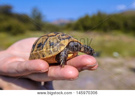 Young Spur-thighed Tortoise On Hand
