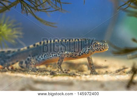 Male Alpine Newt In A Pool